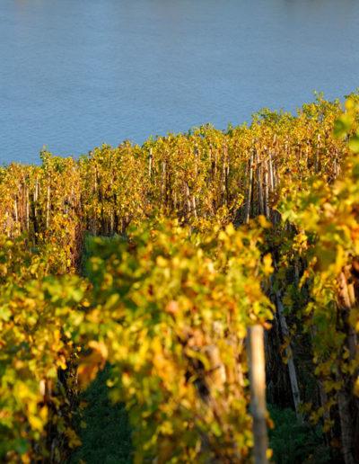 Le Rhône et les vignes du domaine Julien Pilon en novembre 2020
